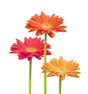 fleurs colorÈes